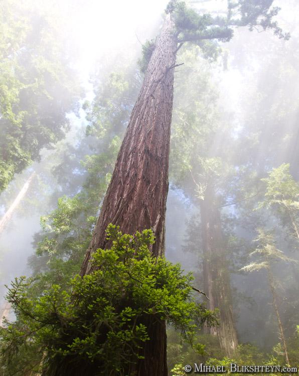 Redwoods, fog, sun light